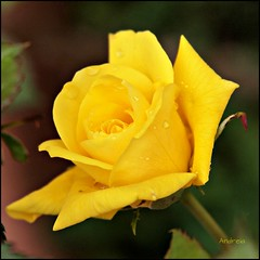 Jueves en amarillo... (Piruletadecafe) Tags: rose yellow drops flor rosa gotas amarillo santiagodecompostela thursday jueves floer olympusepl1