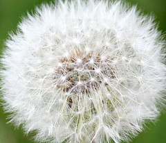 just dandy 2 (ThroughMyEyes_JKM) Tags: flowers white spring weed indiana dandelion