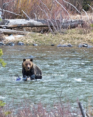 Grizzly Bear in Shoshone River (Daryl L. Hunter - The Hole Picture) Tags: usa unitedstates wildlife wyoming wilderness cody grizzlybear codywyoming specanimal shoshoneriver runningthroughwater