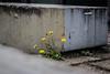 Nature (Thragor) Tags: plant flower concrete deutschland hamburg pflanze pflanzen dandelion blume beton löwenzahn