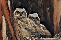 Baby Great Horned Owls (hpromise-Jean Kohut') Tags: ngc npc supershot avianexcellence naturesharmony coth5 5wonderwall sunrays5