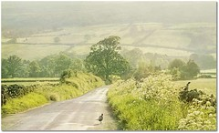 Two Pheasants (~ paddypix ~) Tags: summer england green rural landscape countryside yorkshire lane fields northyorkmoors countryroad pheasants farndale lowmill besteverdigitalphotography