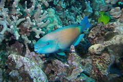 coral cruncher (BarryFackler) Tags: ocean life sea fish nature water ecology animal coral fauna island hawaii polynesia bay marine underwater pacific being dive scuba diving sealife pacificocean tropical marinebiology diver bigisland aquatic reef creature biology undersea kona uhu ecosystem parrotfish coralreef marinelife vertebrate zoology seacreature marineecology organism honaunau konacoast hawaiicounty southkona hawaiiisland 2013 honaunaubay marineecosystem westhawaii bigislanddiving bulletheadparrotfish sealifecamera chlorurusspilurus barryfackler barronfackler cspilurus