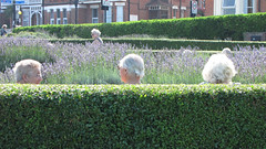 Silver on green (Rob Jukes) Tags: kent lavender hedge retirement broadstairs elementsorganizer