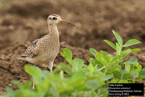 Little Curlew (Numenius minutus)