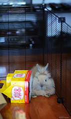 wedge part deux (Jason Scheier) Tags: pets cute bunny animal hair fur furry soft fluffy reflect creatures creature lionshead lionhead rabiit