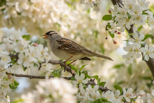 White-crowned sparrow in the crabapple
