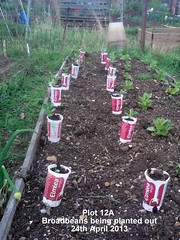 Plot 12A - Broadbeans being planted out 24-04-2013 (Davy1000) Tags: carrots leeks broadbeans onionsets earlypotatoes april2013 plot12a lettucelittlegem halfbed beetrootchioggia potatoesrocket