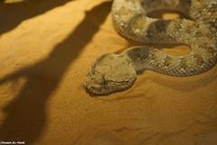 Arabian Horned Viper (Hosam AL-Hwid) Tags: light shadow yellow eyes snake sony saudi arabia arabian poison مركز viper a77 venom horned hosam إنتاج alhwid الأمصال اللقاحات