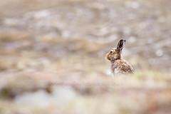 Mountain Hare (cjdolfin) Tags: wild brown mountain nature mammal scotland spring highlands hare alba heather wildlife scottish highland mountainhare lepustimidus cjdolfin