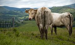 Vacas en Aquitaine (Jose.Rubio) Tags: primavera nikon prado francia vache vaca montaas pirineo aquitaine aquitania paysbasqueverde