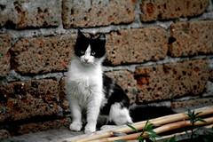IMG_3471 (SDS Photography - Shiraz) Tags: blackandwhite bw animal cat kitten katten kat chat kitty gatto biancoenero micio chaton gattino
