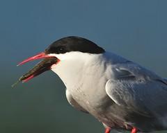 Tern Eating a Stickleback (WALTONKSM) Tags: alaska anchorage sewardhighway arctictern sternaparadisaea pottermarsh gasterosteusaculeatus