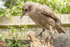 Juvenile Starling (froomey) Tags: nature birds wildlife feather starling aves juvenile animalsbirds youngsters sturnusvulgaris gardenbirds wildbirds olympusxz1 hahnelgigatproii