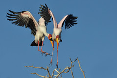 Yellow-billed Storks - Mycteria ibis (lyn.f) Tags: two branch little trying same land storks yellowbilled mycteriaibis thewonderfulworldofbirds
