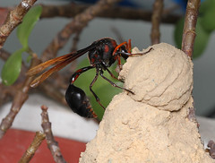 Potter wasp (kampang) Tags: nest caterpillar potterwasp deltapyriforme potterwasplifecycle