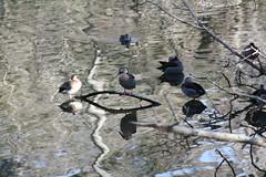 Reflejos. (leograttoni) Tags: reflections zoo pond buenosaires branches ducks laguna reflejos patos laplata ramas