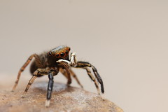 jumping Spider [Explored] (bojangles_1953) Tags: