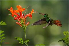 Rufous-tailed Hummingbird (Chris Jimenez - Take Me To The Wild) Tags: chris wild orange costa nature birds fly hummingbird birding flight rica hummingbirds delicate colibri heredia hummers jimenez amazilia tzacatl rufoustailed lifenature