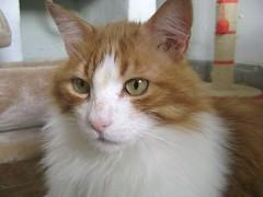 Curro 26 (Asociacin Defensa Felina de Sevilla) Tags: espaa sevilla gatos felinos animales gatitos adoptar protectora adopciones apadrinar gatosurbanos defensafelina asociacindeanimales coloniasdegatos proteccindegatos activismoporlosanimales