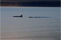 112hdra (markbyzewski) Tags: alaska juneau ugly killerwhale orcas