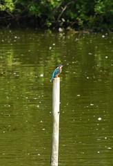 A83_8046 (Imagine Bill) Tags: kingfisher brandonmarsh brandonmarshnaturereserve