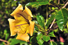 Solandra maxima, Cup of Gold Vine, Golden Chalice Vine, Hawaiian Lily (Steve Slater (used to be Wildlife Encounters)) Tags: flowers nature southafrica bloom stlucia kwazulunatal solandramaxima cupofgoldvine hawaiianlily isimangaliso goldenchalicevine