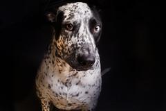 Zephyr (CameronNunez) Tags: wedding 2 portrait music dog cute animal lens prime orlando mix photographer florida mark pitbull ii cameron jacksonville 5d freelance nunez