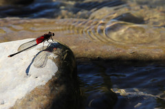 Red Dragonfly (marinela 2008) Tags: blue autumn shadow ohio red sky sunlight fall nature wet water reflections river insect wings rocks waves afternoon dragonfly september shade rest capture sunnyday mariemont littlemiamiriver 2013 marinela2008