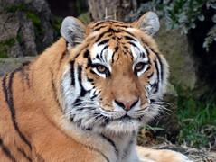 DSC_0347 (Sketchpoet) Tags: oregon portland zoo northwest tiger endangered amur oregonzoo amurtiger