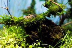 Red cherry shrimp (doctian) Tags: philippines shrimp cebu fujifilm gettyimages freshwater pcc plantedaquarium fpc redcherryshrimp imag xe1 cebusugbo doctian garbongbisaya uploaded:by=flickrmobile flickriosapp:filter=nofilter fujifilmxseries
