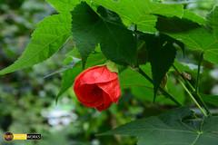 iek 2 :) (Burak5320) Tags: flower nature turkey nikon shooting burak 18105 rize mynikon ayeli d5200 iamnikon turknikon burakphotographty