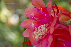 flower head (loobyloo55) Tags: pink orange flower green flora bokeh cream stamens