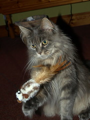 Breeze got a new toy, 26 Oct 13 (Castaway in Scotland) Tags: blue pet cute animal cat silver grey scotland tabby maine adorable kitty tags olympus perth coon loch trossachs kinross earn e410