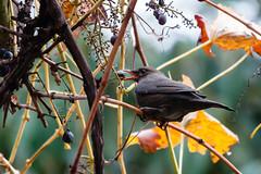 Ice Wine (martinstelbrink) Tags: autumn bird fall leaves germany wine herbst sigma foliage nrw tele bltter grape blackbird nordrheinwestfalen vogel wein herbstlaub amsel traube a700 sigma120400mmf4556