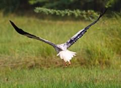 Egyptian Vulture (Amit Mishra.) Tags: mishra national egyptian vulture dudhwa parkamit
