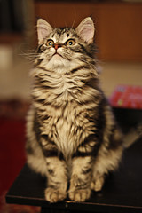 cosmo (Brittney Lenhart) Tags: cats cute canon 50mm adorable fluffy kittens boka 50d