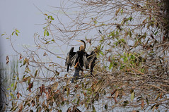 An Oriental Darter Bird drying its wings (Saumil U. Shah) Tags: park travel india bird tourism nature animal animals nationalpark flickr wildlife indian tourist safari national maharashtra wilderness oriental darter shah anhinga vidarbha anhingamelanogaster  snakebird tigerreserve saumil melanogaster tadoba incredibleindia projecttiger andhari tatr orientaldarter saumilshah