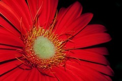 Gerbera (Paul Sibley) Tags: flower photoaday nikond60 35365 3652014