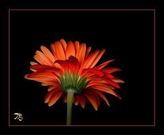 Miss February 2014 (Vidterry) Tags: gerbera daisy gerberadaisy gerb orangegerbera