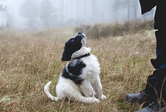 Mumma (heddar) Tags: cute fog forest puppy supercute valp landseer