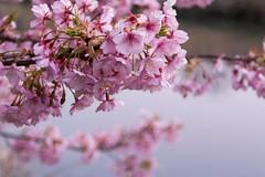 _DSC8007.jpg (d3_plus) Tags: japan night cherry star nikon  cherryblossom  sakura nikkor  j1 izu night kawazu kawadu    minamiizu  blossoms   blossom  nikon1 shoot beat  cho shooting kawadusakura honda  beat660 nikon1j1 1nikkor  1nikkor185mmf18 nikon1j3 1nikkor18mmf18 1nikkorvr10100mmf456 minamiizu aonogawa