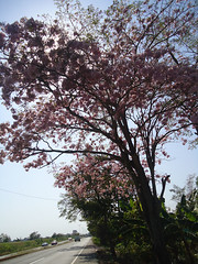 Florece el macuilis (Caneckman) Tags: naturaleza primavera arbol flor tabasco villahermosa vegetacion