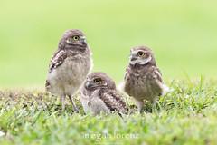 Owlets (Megan Lorenz) Tags: wild bird nature florida wildlife owl avian birdofprey burrowingowl owlet mlorenz meganlorenz