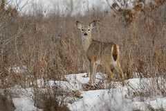 Deer_46888.jpg (Mully410 * Images) Tags: winter snow cold bird ice birds wisconsin spring birding deer birdwatching birder whitetaileddeer crex crexmeadows