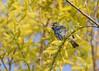 _53F8458 Indigo Bunting (~ Michaela Sagatova ~) Tags: blue songbird indigobunting passerinacyanea nonbreedingplumage michaelafotheringham michaelasagatova indigoxlazulihybrid