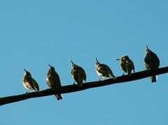 au meeting aérien (b.four) Tags: starling storno alpesmaritimes cagnessurmer étourneau rubyphotographer coth5 ruby5