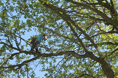 IMG_2137 (rogerbtree) Tags: trees fun rope bainbridgeisland treeclimbing srt arborists ropeaccess treeclimbingcompetition