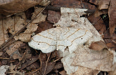 moth at Raven Run - 2556 (Raven Run Nature Sanctuary) Tags: lexington kentucky lexingtonkentucky ravenrun ravenrunnaturesanctuary