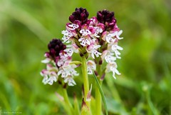 """Burnt-tip Orchid (Neotinea ustulata) """"Explore'd 07 May 2014"""" (BiteYourBum.Com Photography) Tags: england orchid nature sussex wildlife explore trust eastsussex canonef1740mmf4lusm lewes swt ipad nnr nationalnaturereserve explored mountcaburn canonefs60mmf28macrousm sussexwildlifetrust biteyourbum southerham canoneos7d appleipad neotineaustulata dawnandjim canonspeedlite430exii burnttip caburnbottom sigma50500mmf4563dgoshsm lewesdowns loweproprorunner350aw southerhamnaturereserve biteyourbumcom camranger lewesdownsnationalnaturereserve lewesdownsmountcaburnnnr explored07may2014"""